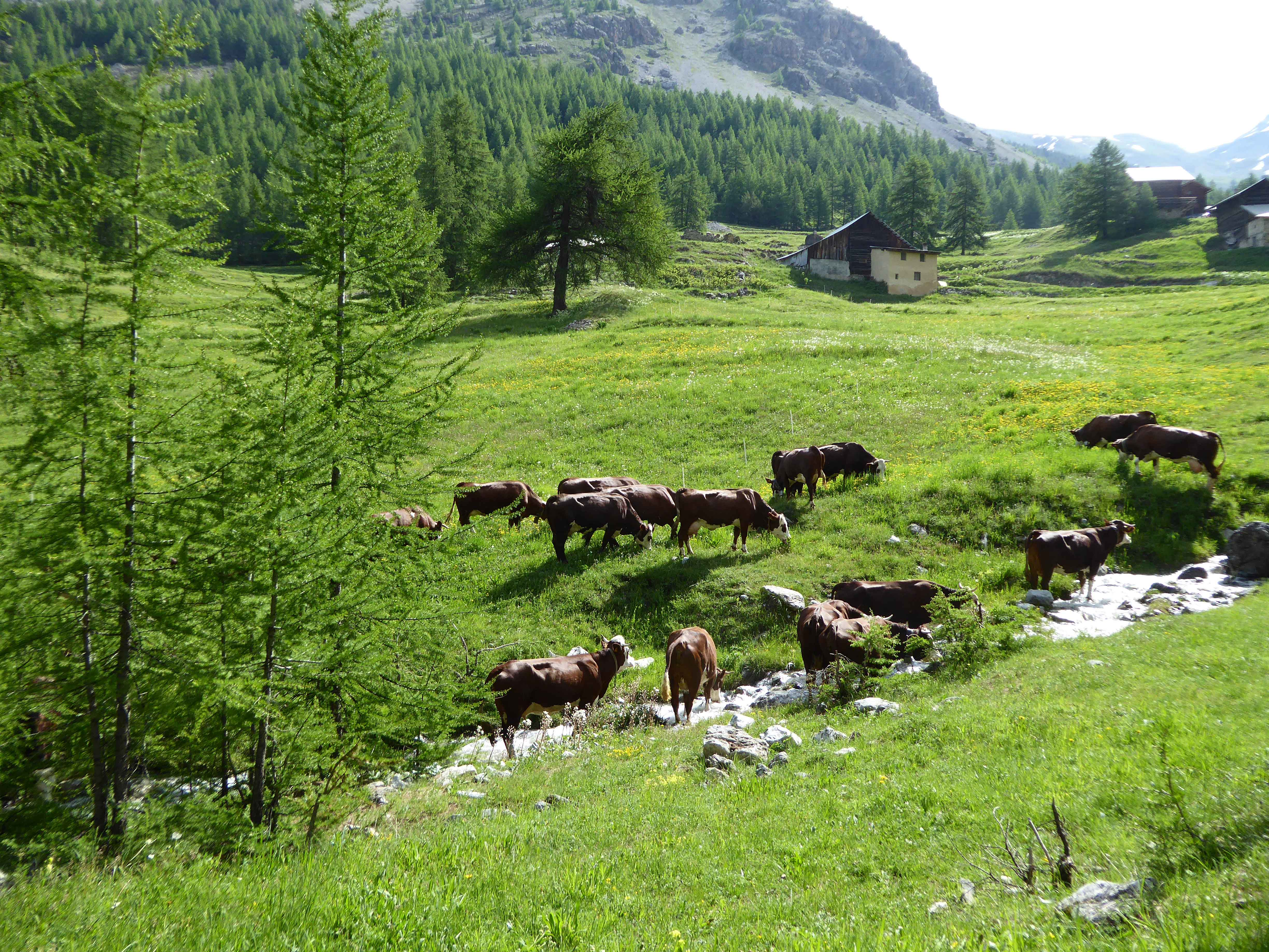 vaches-riaille